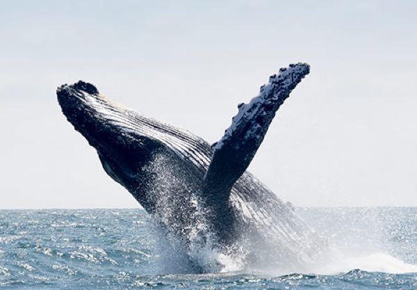 Whale breaches. Seen aboard Calypso
